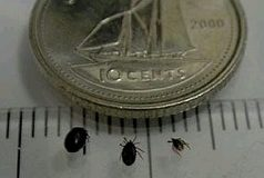 Beware of Lyme disease - Three nymphs of the blacklegged tick