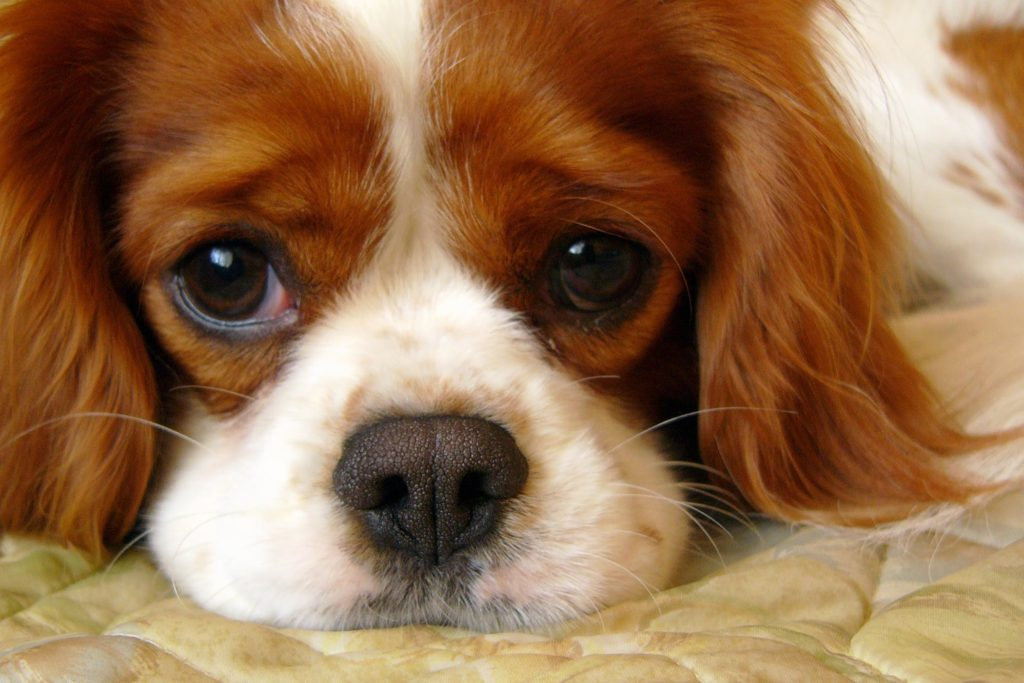 The Benefits of CBD Oil For Craniomandibular Osteopathy In Dogs - Common Symptoms